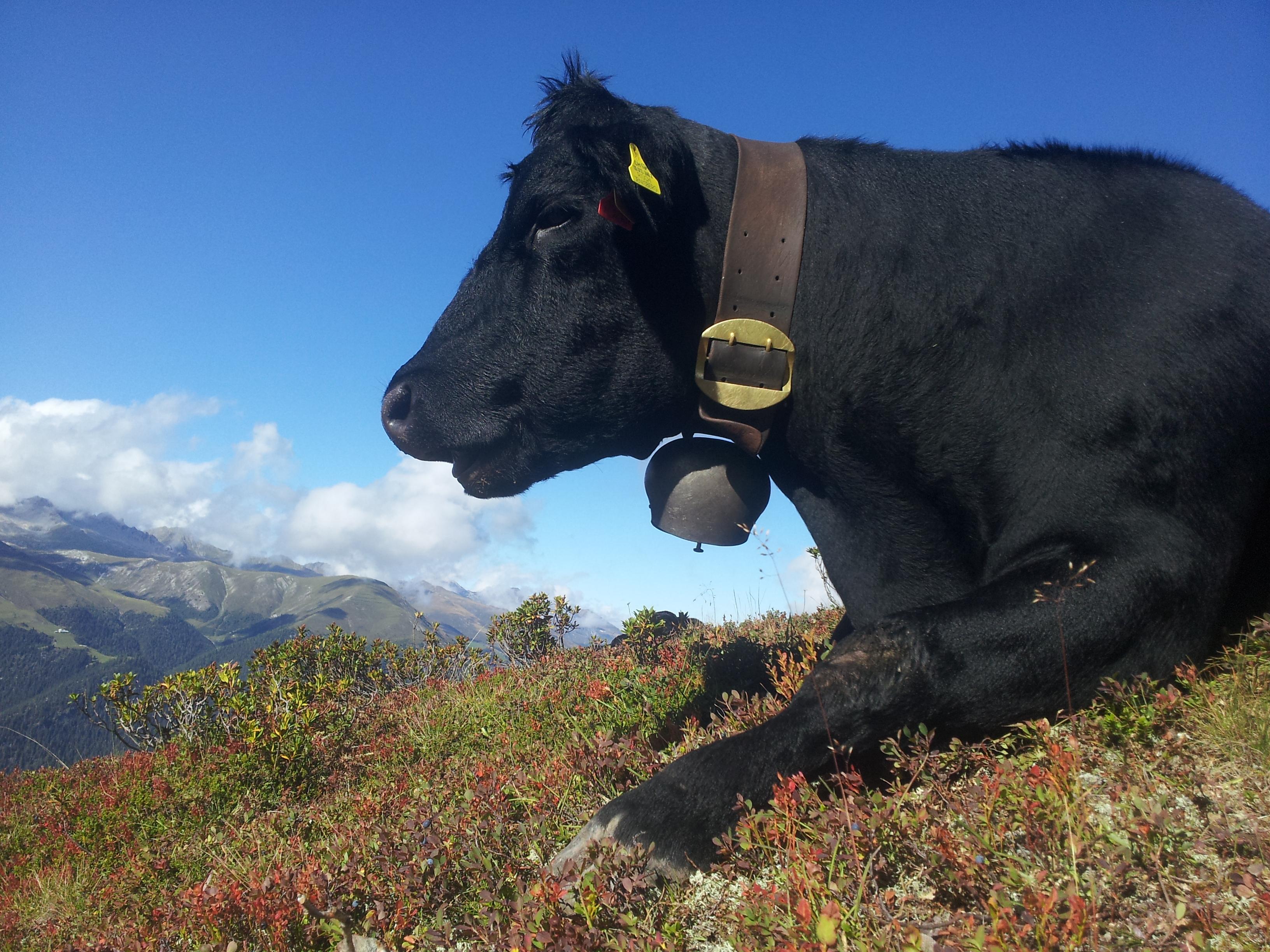 Kuh auf der Alp